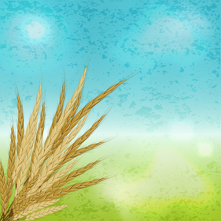 mature: Agriculture. Ears of mature rye wheat against the sky. Vector illustration background
