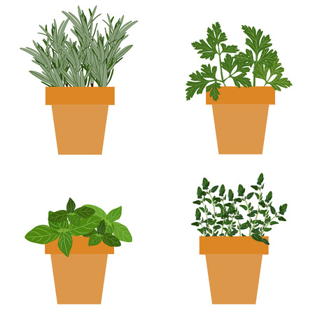 herbes: Set of vector culinary herbs in pots with fresh thyme basil, rosemary and parsley. Grow The Garden