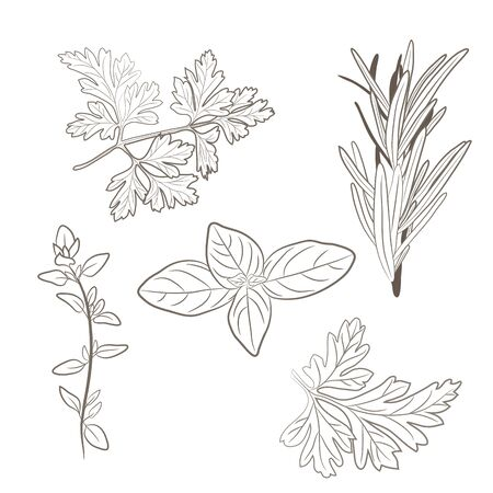 Vector świeżej pietruszki, tymianek, rozmaryn, bazylia i zioła. Liście aromatyczne używane do mięs sezonie, gulasze, drób, zupy, bukiet Granny