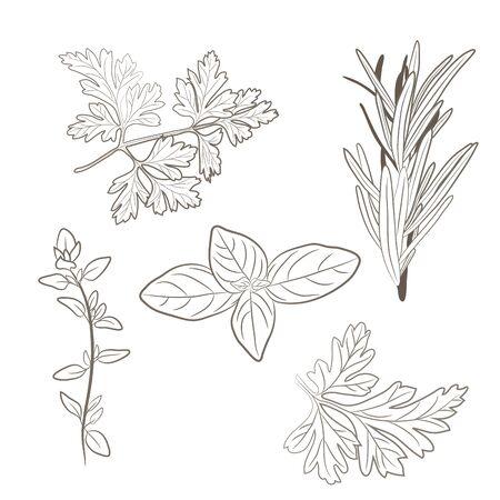 Vector prezzemolo fresco, timo, rosmarino, basilico e le erbe. Foglie aromatiche utilizzate per carni stagione, pollame, stufati, zuppe, Bouquet della nonna