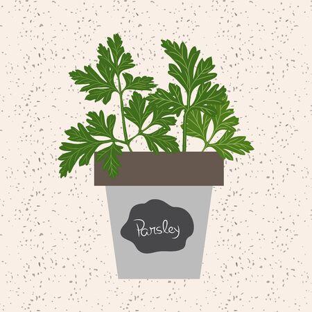 aromatique: Vecteur - frais herbe de persil dans un pot de fleurs. Feuilles aromatiques utilis�s pour assaisonner les viandes, la volaille, les rago�ts, soupes, bouquet granny