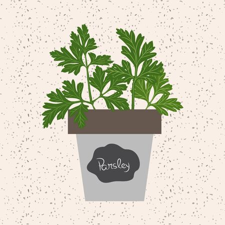 meats: Vector - Fresh parsley herb in a flowerpot. Aromatic leaves used to season meats, poultry, stews, soups, bouquet granny