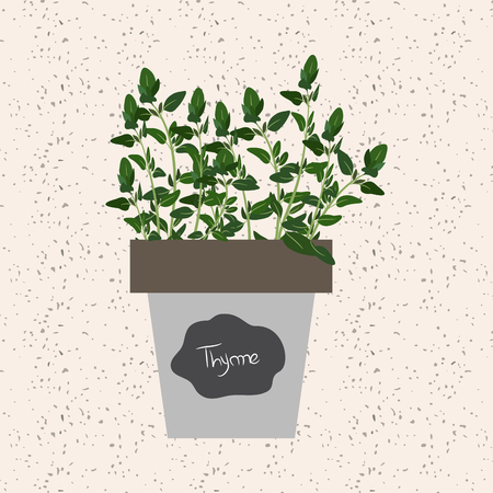 meats: Vector - Fresh thyme herb in a flowerpot. Aromatic leaves used to season meats, poultry, stews, soups, bouquet granny Illustration