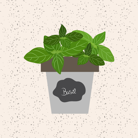 meats: Fresh basil herb in a flowerpot. Aromatic leaves used to season meats, poultry, stews, soups, bouquet granny
