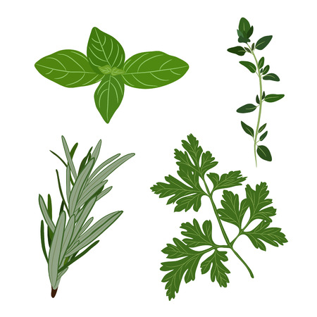 Vector fresh parsley, thyme, rosemary, and basil herbs. Illustration