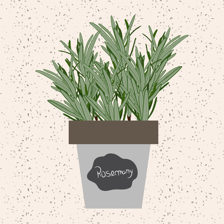 meats: Vector - Fresh rosemary herb in a flowerpot. Aromatic leaves used to season meats, poultry, stews, soups, bouquet granny Illustration