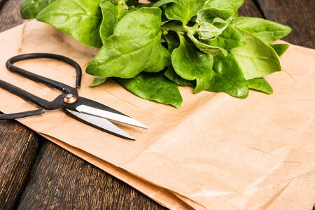 Spring spinach leaves on dark wooden background with scissors and paper Stock Photo