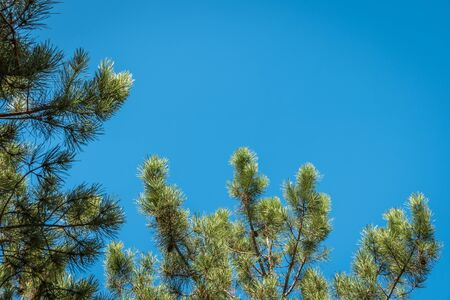 Green pine tree branch on blue sky background