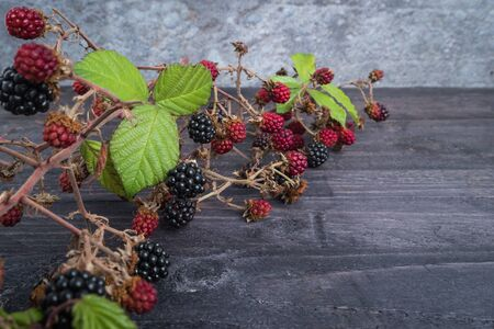 Red and black wild blackberries. Ripe and unripe blackberries on dark background