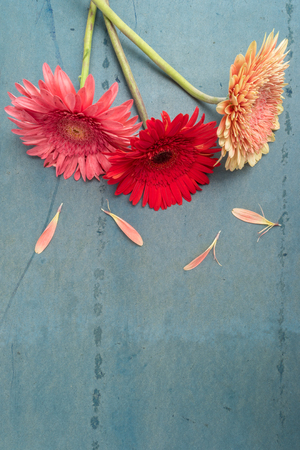 Lovely gerbera daisy flowers on turquoise shabby chic background. Festive greeting card Stockfoto - 95204305