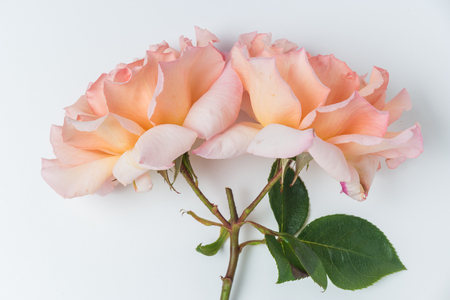Fresh bunch of pink roses flowers on white background pastel fresh bunch of pink roses flowers on white background pastel floral wallpaper background from flower mightylinksfo