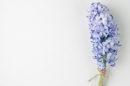 Blue hyacinth flower on white background with copy space