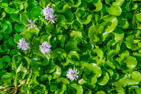 Water hyacinth flower in natural water in river.