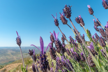 Beautiful and summer violet lavander field. Aromatherapy lavander.