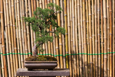 Beautiful Pomegranate Bonsai Tree photo