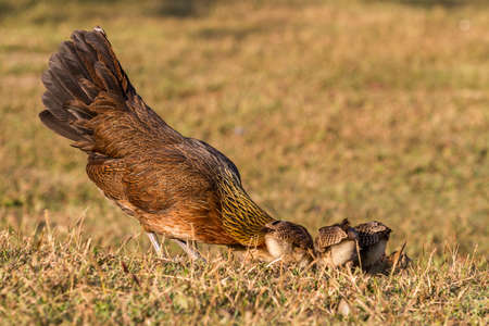 bantam hen: Pet Bantam hen with new born chickens baby chicks foraging for feed
