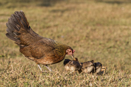 birchen: Pet Bantam hen with new born chickens baby chicks foraging for feed