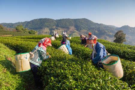 the national flag of kenya: Las mujeres de Tailandia rompe las hojas de té en la plantación de té Editorial
