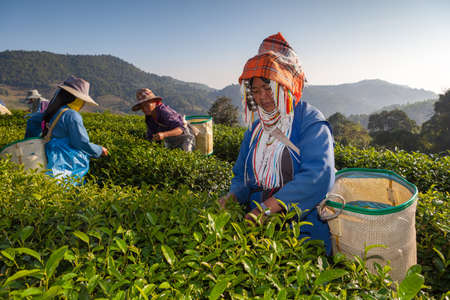 tea breaks: CHIANG RAI, THAILAND - DEC 04: Women from Thailand breaks tea leaves on tea plantation on December 04, 2012 on a tea plantation at Chui Fong , Chiang Rai, Thailand.