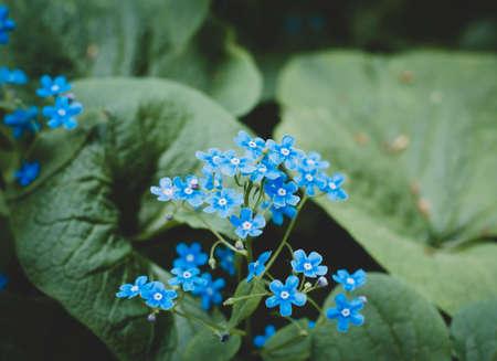 Forget-me-not flower. Summer bloom. Bokeh effect. Close-up. Zdjęcie Seryjne