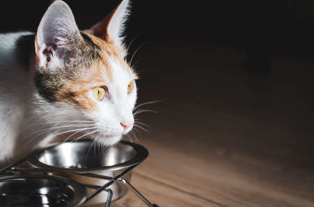 Hungry tricolor cat eat dry food. Healthy food. Holistic. Pet care. Close-up.