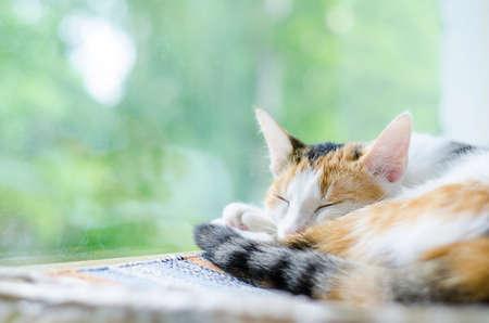 Tricolor cat sleeping near the window. Lazy cute kitten. Bokeh effect Outside the window are green trees. Zdjęcie Seryjne