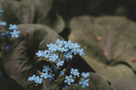 Forget-me-not flower. Summer bloom. Bokeh effect. Close-up. Stock Photo
