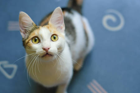 Young three-colored cat looking up curiously. Big white moustache. Curious kitten.