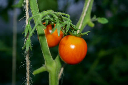 Growing tomatoes in a greenhouse. Agriculture. Environmentally. Stock fotó