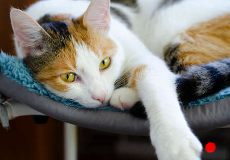 A domestic tricolor cat lies on a chair.