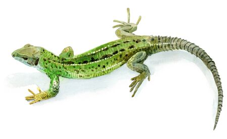 Watercolour sketch of a female green lizard on white