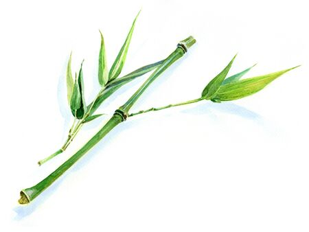 sprig: Watercolour sketch of a fresh green bamboo sprig Stock Photo