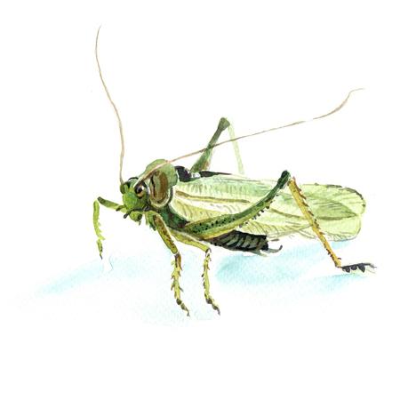 grasshopper: grasshopper Stock Photo