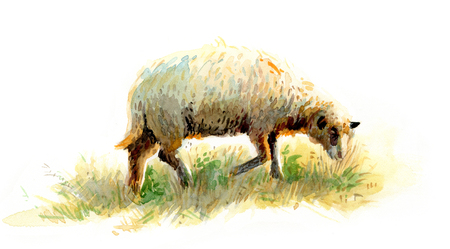 graze: Watercolour sketch of a pasturing sheep Stock Photo