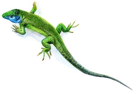 lagartija: Acuarela boceto de un lagarto verde masculina en blanco Foto de archivo