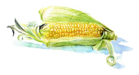 corncob: Watercolour sketch of a yellow corn with green leaves