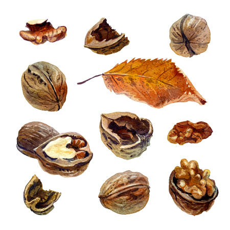 Set of walnuts painted with watercolor