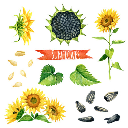 yellow flower: Sunflower, hand-painted watercolor set, vector clipping paths included