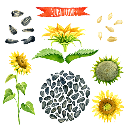 paths: Sunflower, hand-painted watercolor set, vector clipping paths included