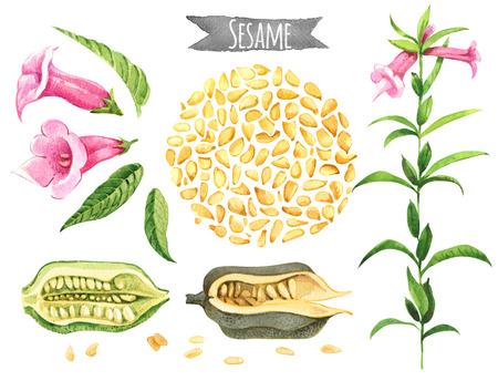 Sesam, von Hand bemalt Aquarell-Set, Vektor Beschneidungspfade enthalten