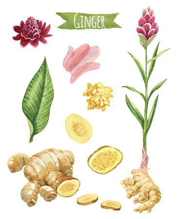 Ginger hand-painted watercolor set, vector clipping paths included 写真素材