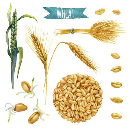 Wheat, hand-painted watercolor set, vector clipping paths included Banque d'images