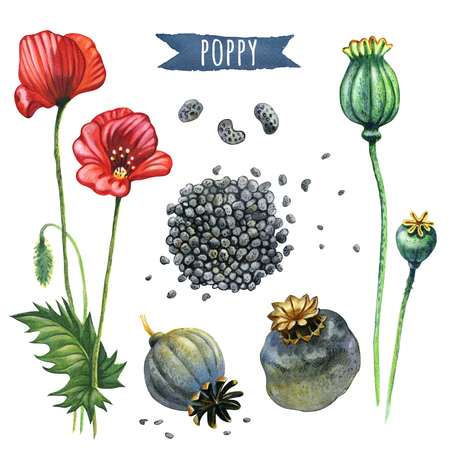 opium: Poppy, hand-painted watercolor set, vector clipping paths included Stock Photo