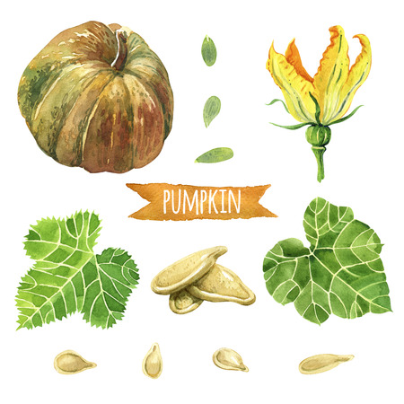 pumpkin seeds: Pumpkin, hand-painted watercolor set, vector clipping paths included Stock Photo
