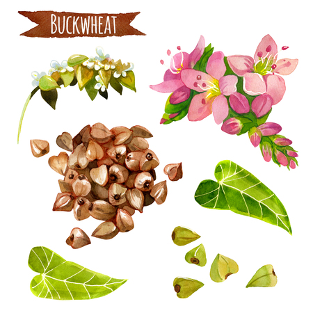 Buckwheat, hand-painted watercolor set, vector clipping paths included