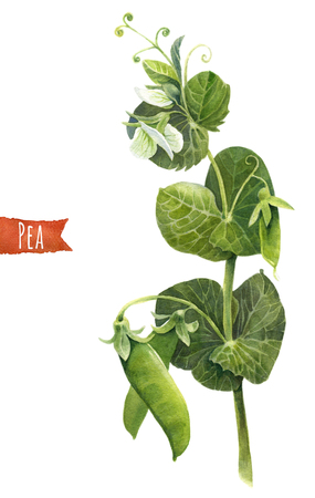 Peas, hand-painted botanical watercolor illustration