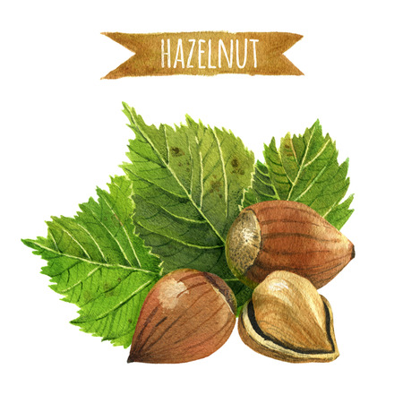 Hazelnut, hand-painted watercolor illustration