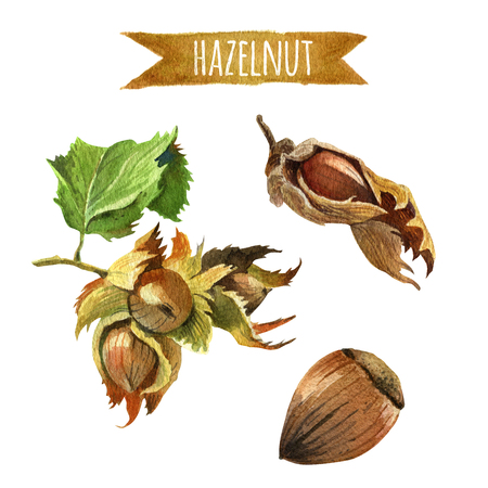 Hazelnut, hand-painted watercolor set, clipping paths included Banque d'images