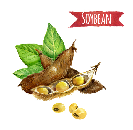 Soybeans hand-painted watercolor illustration set