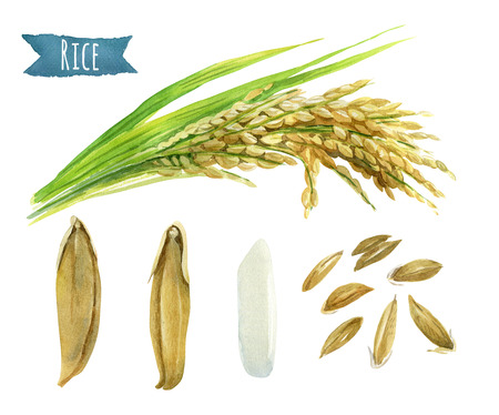 Rice hand-painted watercolor illustration set Stok Fotoğraf